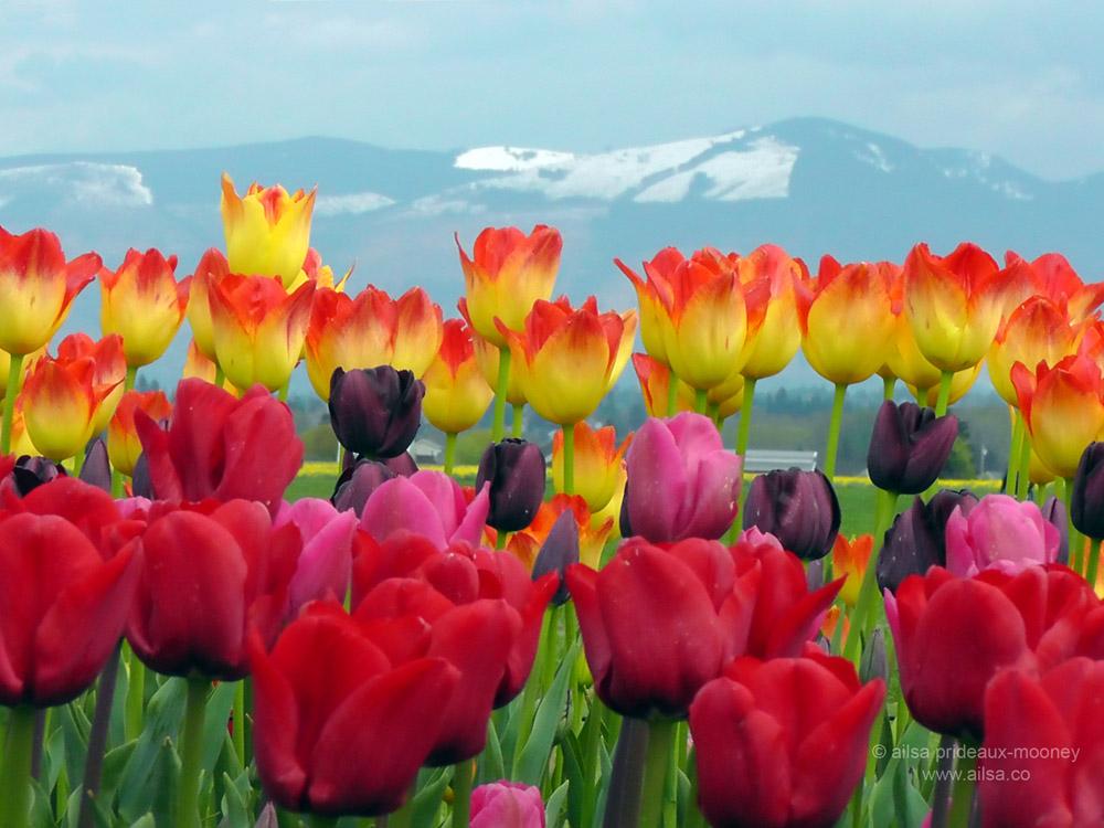 Skagit Valley Tulip Festival in Washington.
