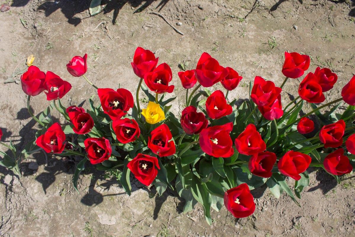 Skagit Tulip Festival. Photo by Cecilia Iliesiu.