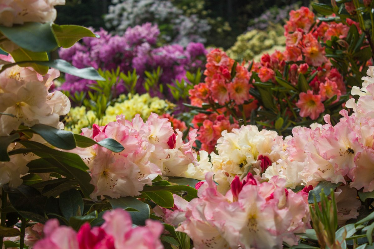 Meerkerk Rhododendron Gardens on {Whidbey} Island. Photo by Cecilia Iliesiu.